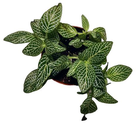 Fitonija (zaļa) - augs priekš DIY