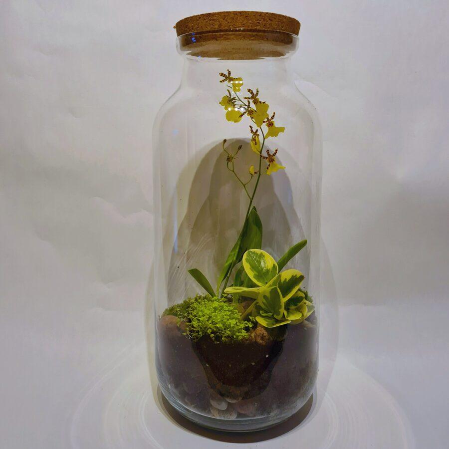 Orhideja Tiģeris - šobrīd noziedējusi (51cm x 23cm)