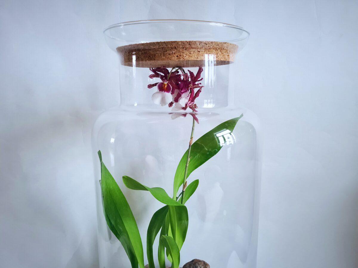 Orhideja Tauriņš - - šobrīd noziedējusi (55cm x 26cm)
