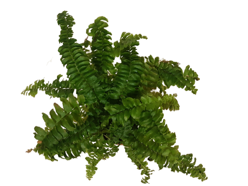 "Small fern - the plant for ""Do it yourself"""