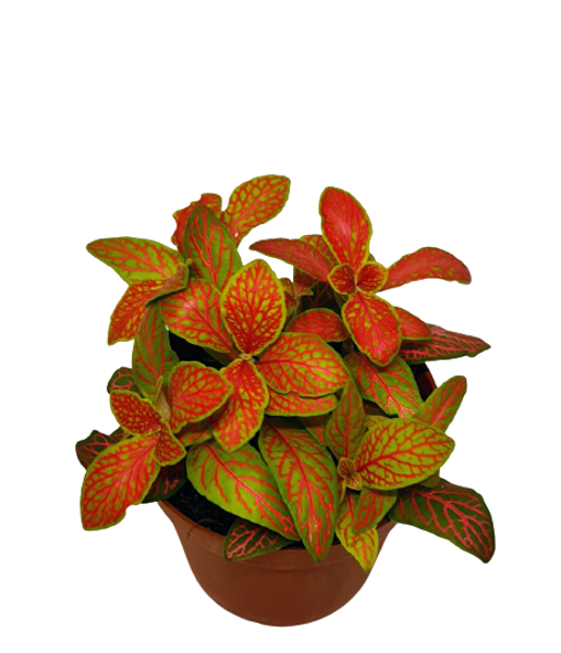 "Fittonia (red) - the plant for ""Do it yourself"""