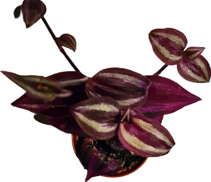 "Tradescantia - the plant for ""Do it yourself"""
